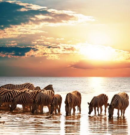 zebras on lake