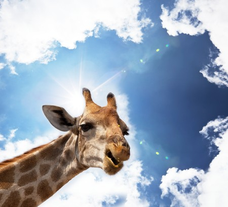giraffe in savannah photo