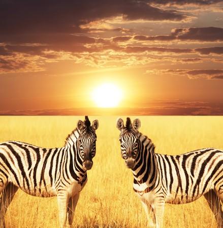 africa animals: zebra