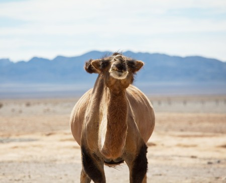 Camels photo
