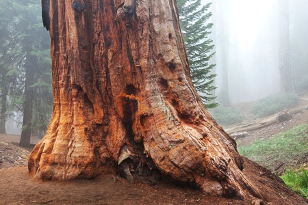 sequoia forest in fog photo