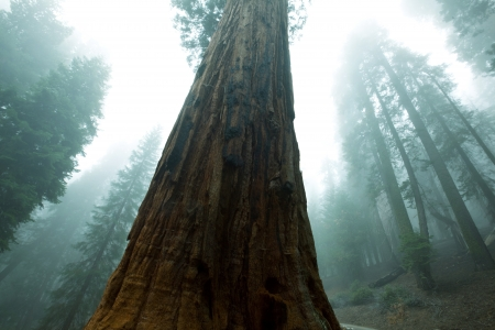 redwood: sequoia forest in fog