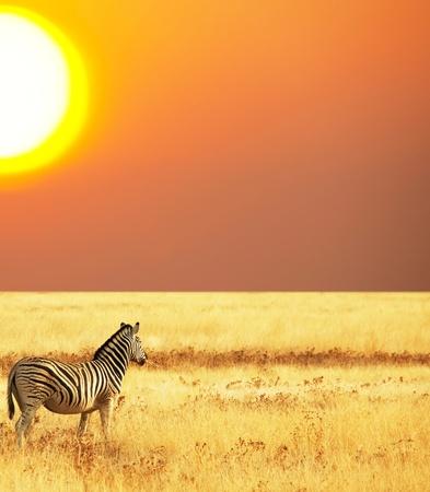 savannah: zebras