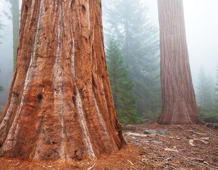 yosemite: sequoia forest in fog