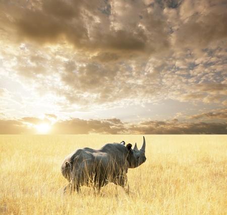 rhinoceros: rhino Stock Photo