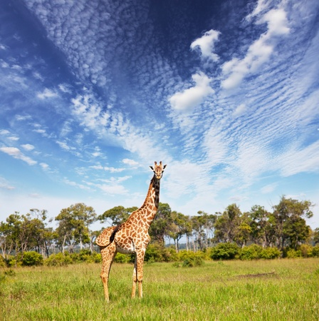giraffe in savannah Stock Photo - 8373259