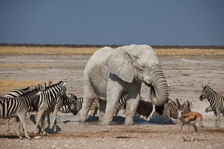 pozo de agua: Elefante y cebras en la charca
