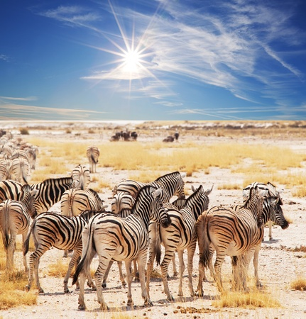 zebras on waterhole Stock Photo - 8407307