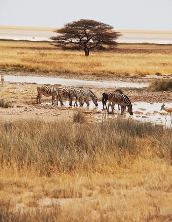pozo de agua: cebras en pozo de agua