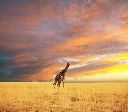 herbivorous animals: giraffe in savannah