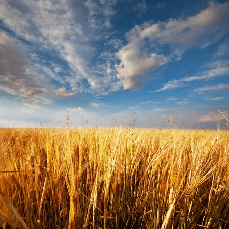 wheat Stock Photo - 8500087