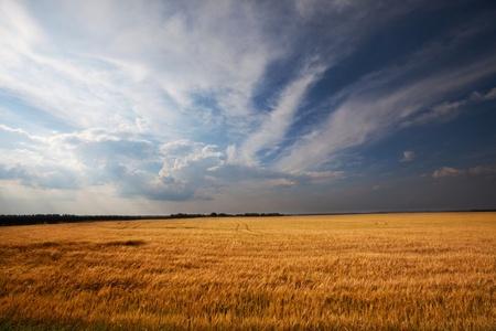 praterie: Pioggia sopra il campo di grano