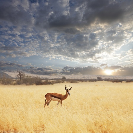 africa sunset: Antilope nel bush Archivio Fotografico