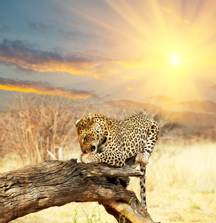 leopard cat: leopard