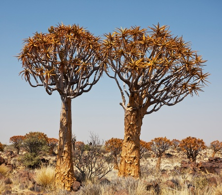 quiver: Quiver tree in Namibië, Afrika