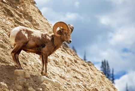 cabras: cabra Foto de archivo