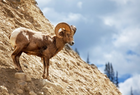 mountain goats: capra