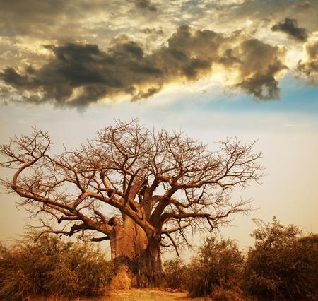 africa sunset: albero Baobab Archivio Fotografico