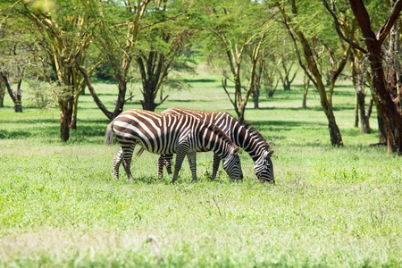 zebras Stock Photo - 9633274