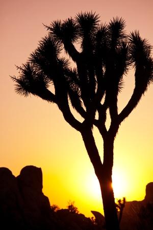 Joshua tree in  desert photo
