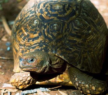 hawaiian turtle Stock Photo - 9668433