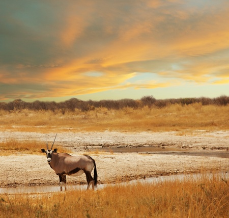 oryx: antelope Gemsbok