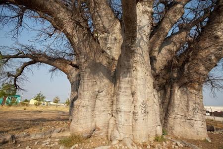 baobab tree photo