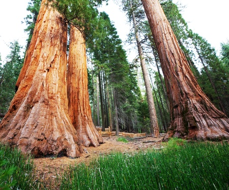 sequoia: Sequoia National Park in USA Stock Photo