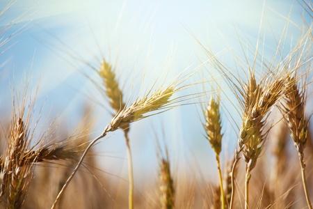 wheat background: wheat Stock Photo