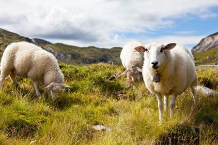 farmlands: Sheeps