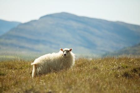 sheep warning: Sheeps
