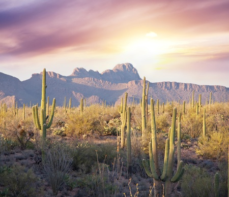 arizona sunset: Saguaro Cactus Park Stock Photo
