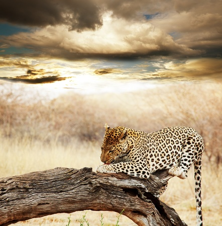 africa tree: Wild cats collection Stock Photo