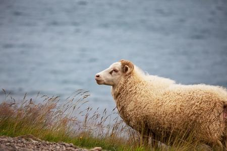 sheep warning: Sheep in Iceland Stock Photo