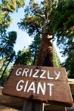 sequoia: girl on giant stump in Sequoia National Park in USA Stock Photo