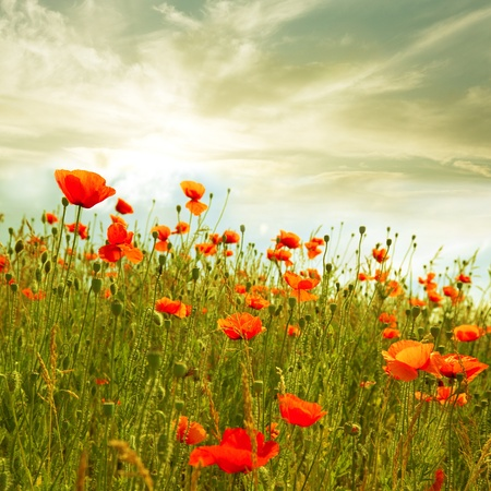 red poppies in green field photo