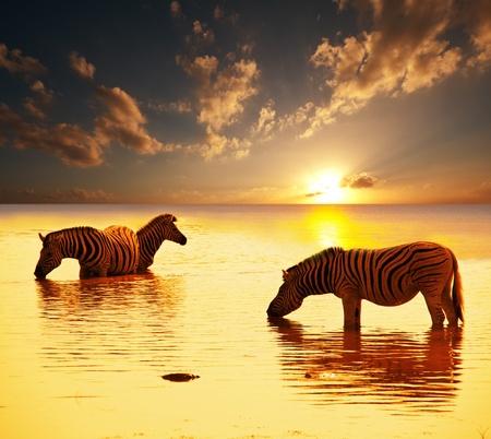 zebras at sunset photo