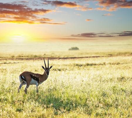 grazer: antelope Gemsbok