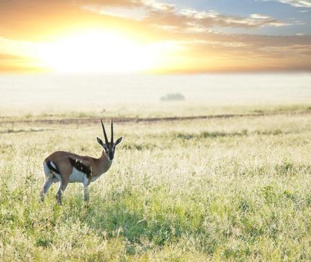 herbivore natural: antelope Gemsbok
