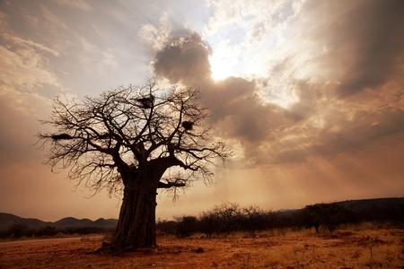 africa sunset: baobab tree