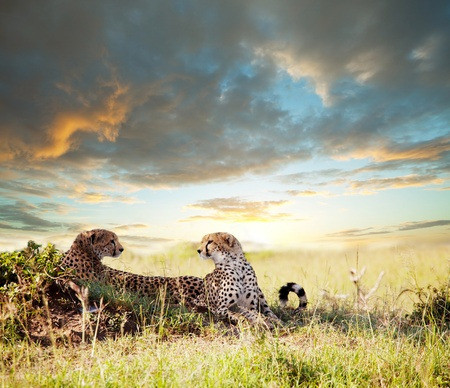 cheetahs: cheetah Stock Photo