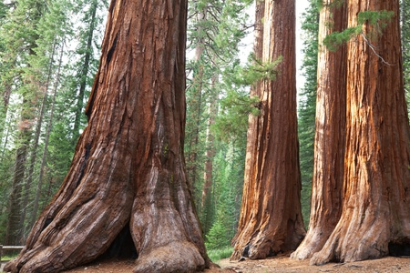 yosemite: sequoia