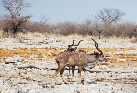 herbivore natural: antelope