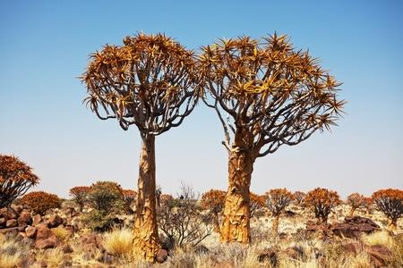 quiver: Quiver boom in Namibië, Afrika
