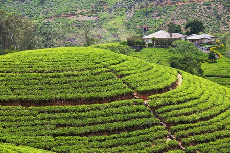 Tea plantation Stock Photo - 13255621