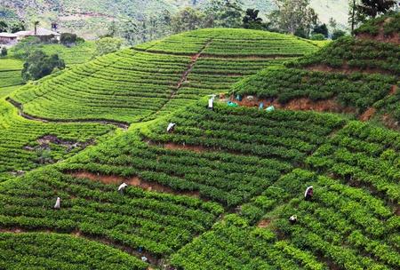 Tea plantation Stock Photo - 13345502
