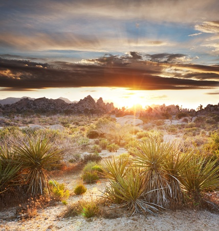 Joshua tree in  desert Stock Photo - 13422947