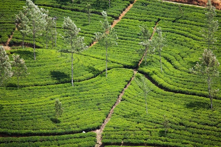 Tea plantation photo