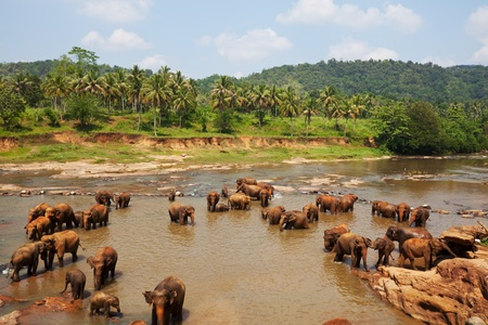 lanka: Elephants  on Sri Lanka Stock Photo