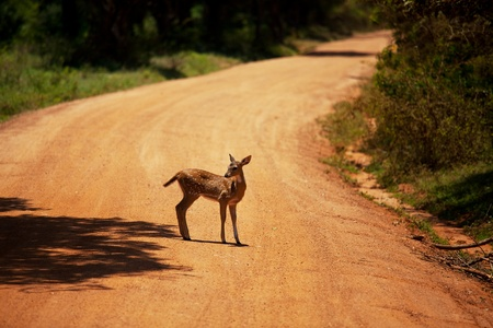 asia deer: Spotty deer on road Stock Photo